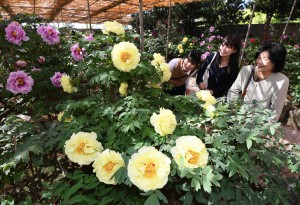 Visitors enjoying peonies