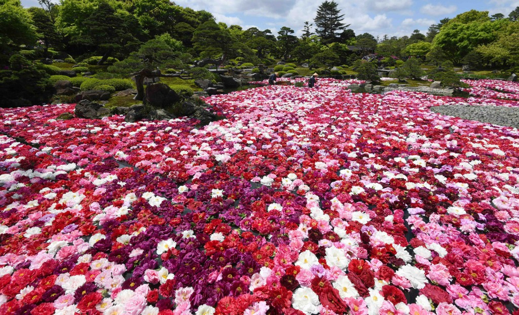 "Ponds of Yuushien were covered by more than 30,000 peony flowers in ""Chisen Botan"" festival. (in Matsue-shi, Shimane Prefecture)"