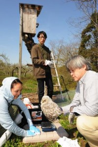 Hirosaki University's professor and his colleagues are conducting a research on an owl hatched at the nesting box in the apple orchard. (Hirosaki-shi, Aomori prefecture)