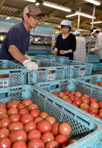A tomato producer, left, is working at JA's grading house to substitute for part-time workers who have been forced to evacuate after the earthquake. (Yatsushiro-shi, Kumamoto prefecture)