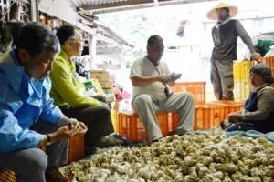Agricultural volunteers helping garlic farmers preparing for shipment (in Nishihara-mura, Kumamoto Prefecture)