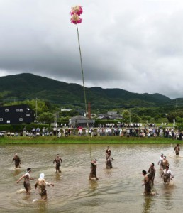 A man carrying a pole with shibe across the rice field. His group mates rush to support him when the rod moves around.