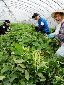 University students helping sweet potato farmer working in nursery (in Nishihara-mura, Kumamoto Prefecture)