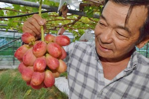 Yoshiyuki Iizuka shows off a bunch of Tears Red grapes in Ueda, Nagano Prefecture.