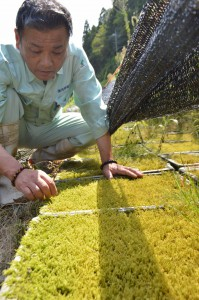 Reiji Ishihara is watching mosses grow in his farm. (Gotsu-shi, Shimane prefecture)