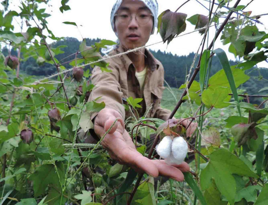 Hienae harvesting yumigahama cotton at his once-abandoned land (in Uotsu, Toyama Prefecture)