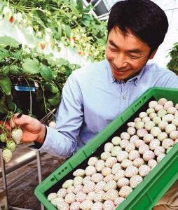 Suzuki Farm representative, looks at white strawberries in his farm in Kakegawa, Shizuoka Prefecture.