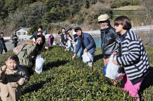 Taiwanese tourists experience tea leaf picking at a green tea farm in the city of Shizuoka during the Chinese New Year.
