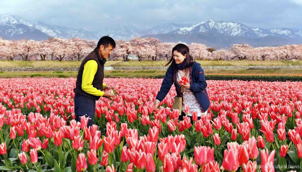 Shuji and Hiroko Yamazaki picking flowers with cherry trees in full bloom in the background (in Asahi town, Toyama Prefecture)