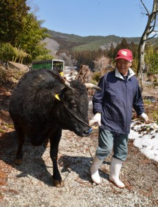 Sadashi Shinkai leads a cow into a cowshed in Katsurao, Fukushima Prefecture, on March 30.