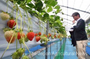 Restaurant bus tour participants enjoy strawberry picking at a farm in Niigata Prefecture.