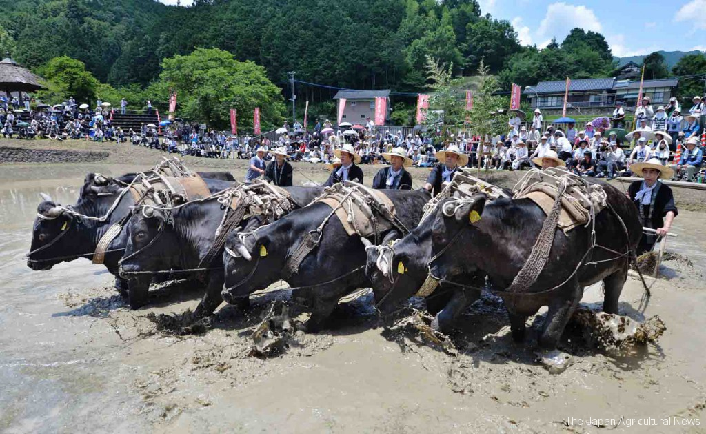 "One of the highlights is the demonstration of ""Ushi-no-shirokaki"" plowing by bulls. The bulls were raised by local bull grower, Katsuhisa Sakura. (in Saiyo, Ehime Prefecture)"