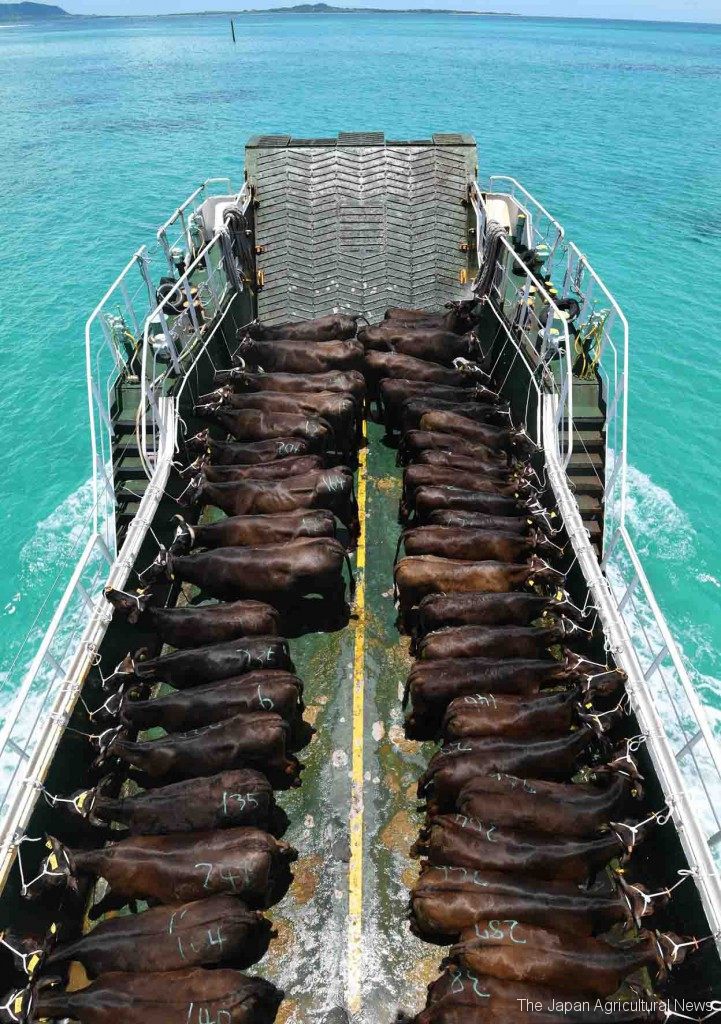 A Yaeyama calf boat traveling from Kuroshima to Ishigakijima island