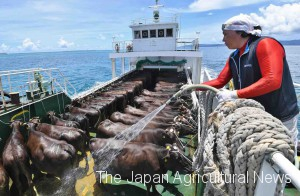 A boat crew pouring sea water over calves to keep them cool in summer heat