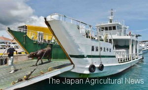 At the port in Ishigakijima Island, calves were discharged and put on a truck one by one. (in Ishigaki City, Okinawa Prefecture)