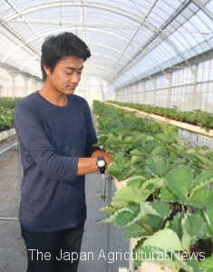 1.A farmer who grows Kirapika and Beni Hoppe strawberries in Yaizu, Shizuoka Prefecture, welcomes the recent moves to protect the domestically-developed varieties abroad