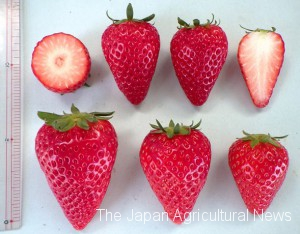 2.A photo provided by the Shizuoka Prefectural Research Institute of Agriculture and Forestry shows Kirapika strawberries developed in the prefecture.