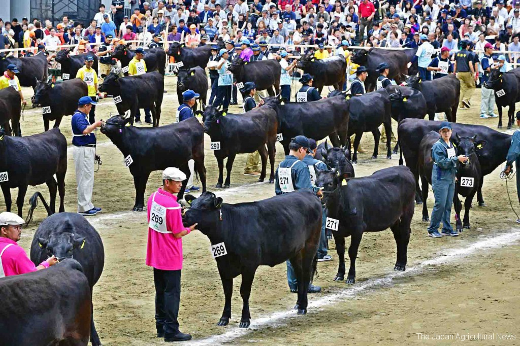 Watching the beef cattle standing in lines to wait for biological body assessments was one of the most exciting parts of the exhibition. (On September 9)