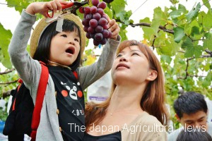 Taiwanese visitors enjoying grape picking at one of tourist farms (in Kumamoto city, Kumamoto Prefecture)