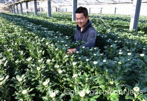 "Ishii checking his chrysanthemums ""Sei no Issei,"" which are almost ready for shipment. He looks at color and size of buds to decide when to cultivate them."
