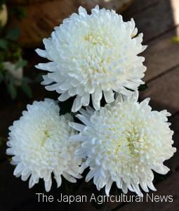 "White chrysanthemums in full bloom and ready for shipment. Flowers grown to full bloom in greenhouses are called ""Full Bloom Mums""."