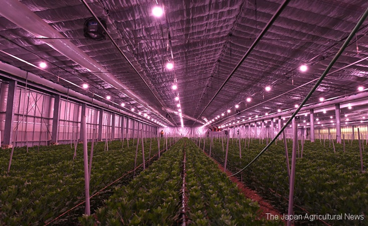 """Jinba"" chrysanthemum producers use pink-colored LED lamps in their greenhouses."
