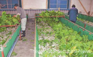 Sericulture farmers feeding mulberry leaves to GM silk worms (in Maebashi city, Nagano Prefecture, photo by Gunma Sericultural Technology Center)