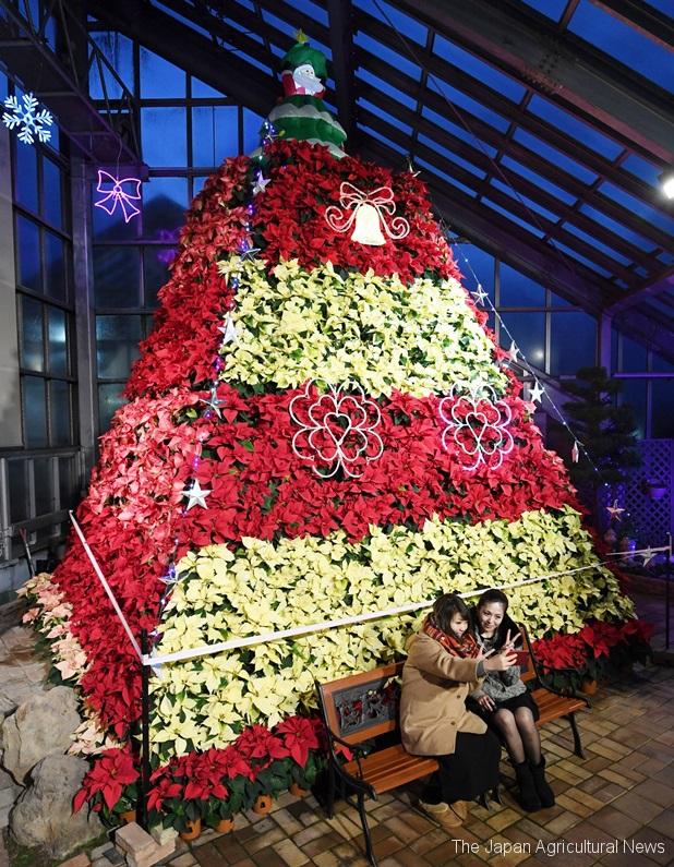 The tree this year uses three-colored poinsettia plants grown locally. (in Katagami city, Akita Prefecture)