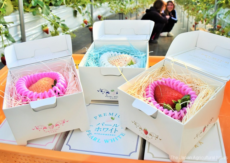 One Japanese-grown giant strawberry sits in a gift box. It can command high prices as much as 5,000 yen in Hong Kong.