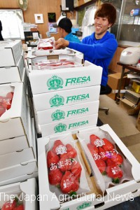 A Fresa member preparing for the shipment at Hidaka's strawberry farm. The team name and logo are printed on the boxes and films. (in Itoshima, Fukuoka Prefecture)