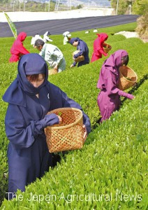 Locals in ninja costumes handpicking first flush tea leaves (in Koga town, Shiga Prefecture)