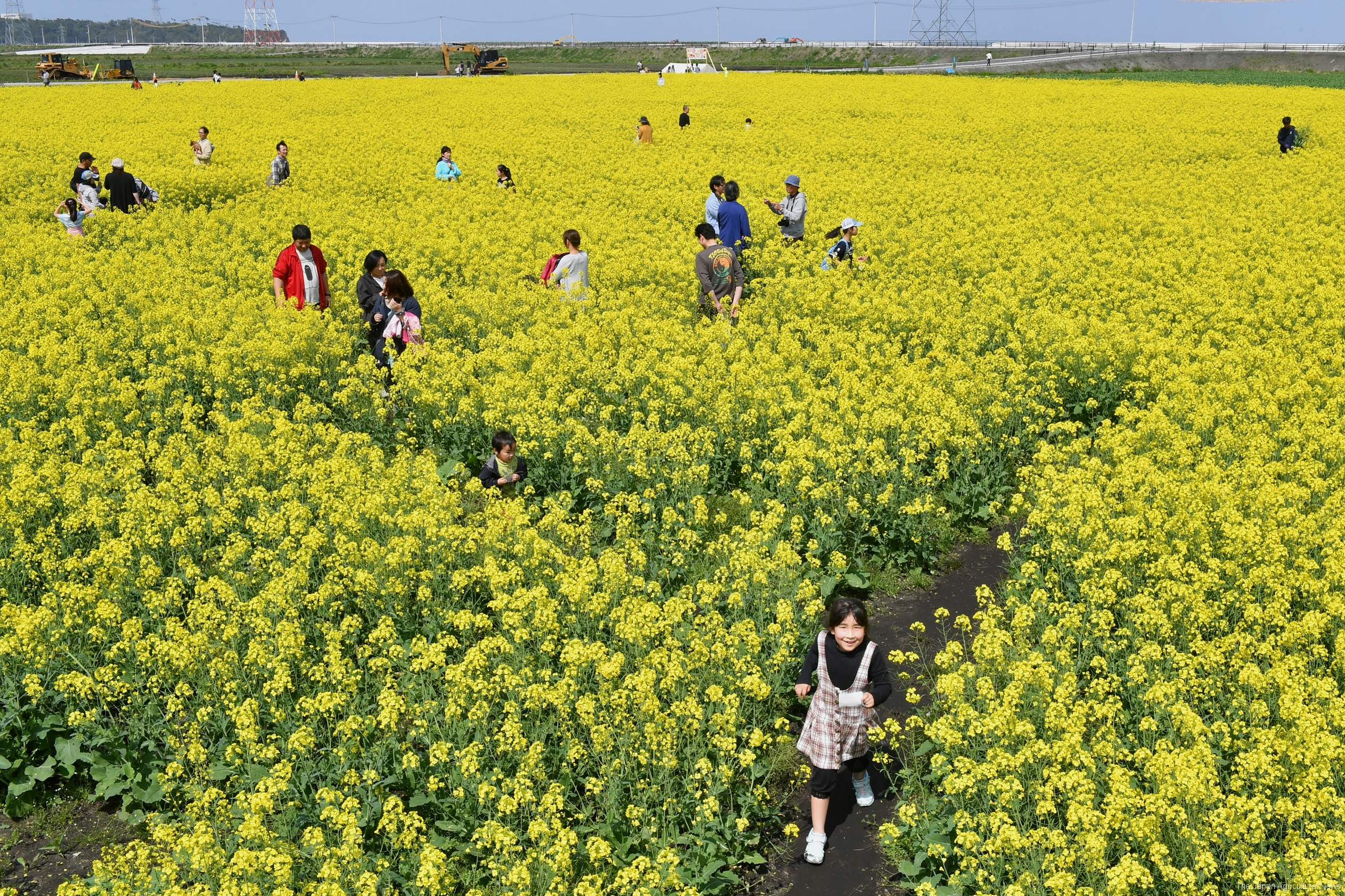 Visitors to a rape blossom maze in Minamisoma, Fukushima Prefecture, walk through lines of flowers. The rape plants will be harvested in June to produce oil.