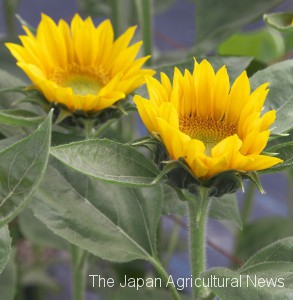 Takii Co. has invented a sunflower that blooms upright facing on strong stems.