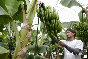 A farmer takes care of bananas in a greenhouse at Kami Banana farm in Minamikyushu, Kagoshima Prefecture.