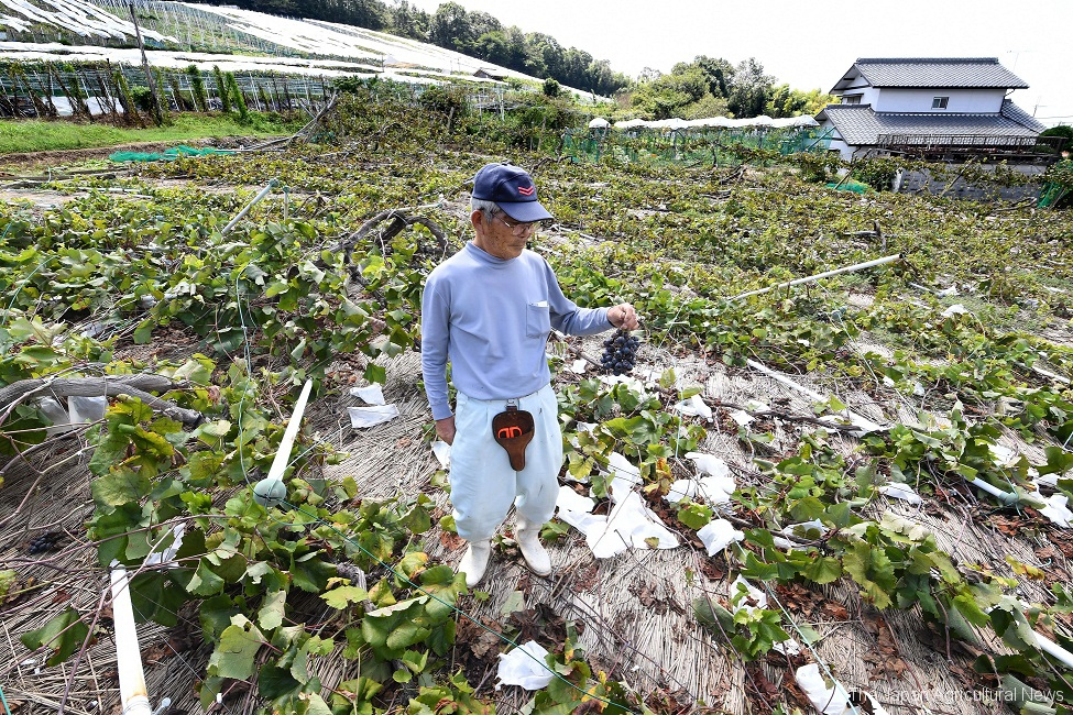 A grape farmer staring at a bunch of grapes he picked up from the ground in his grape yard which was repeatedly hit by the two strong typhoons (in Kobe city, Hyogo Prefecture)