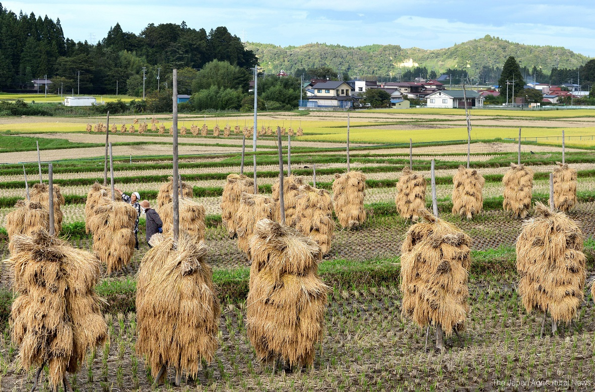 Many Honnyo stand in the rice field. You can see them only in autumn when rice farmers dry rice in the sun. (in Kurihara City, Miyagi Prefecture)