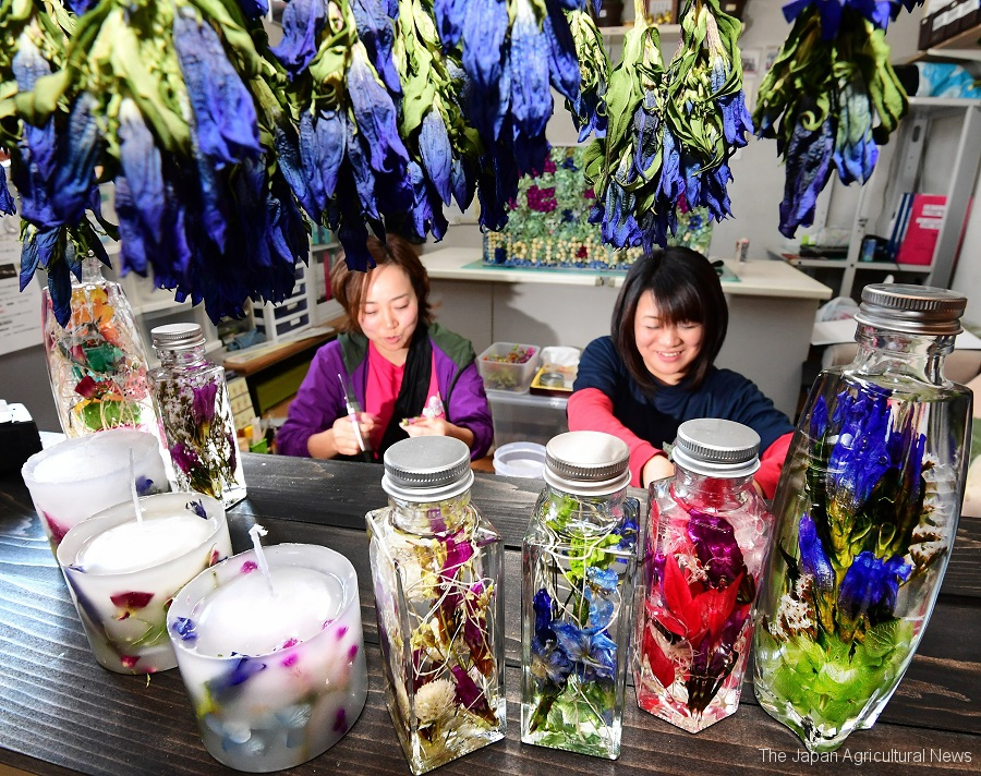 Ayumi Miyano uses her dried gentian flowers to create herbarium and candles.