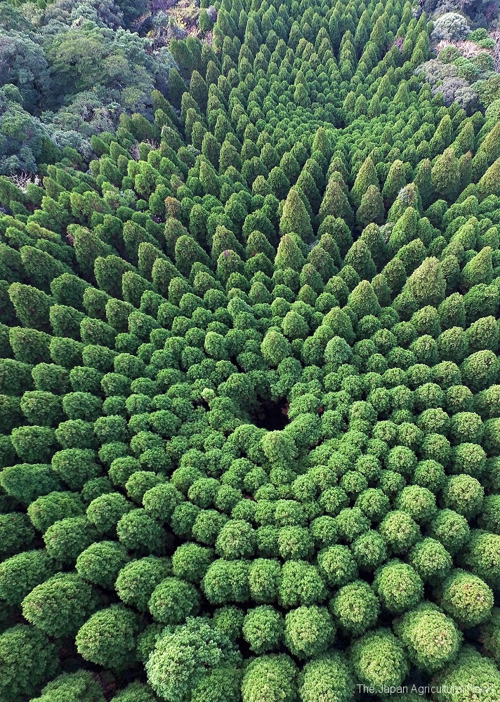 A photo taken by drones captures a pair of mysterious circles made of local Obi-sugi cedar trees in Miyazaki prefecture.
