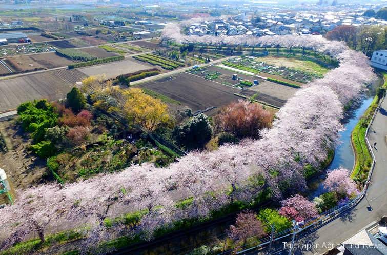 The cherry trees creating a pink belt on the banks of the Minuma Canal. They divide the agricultural fields from the residential area. (in Saitama Prefecture)