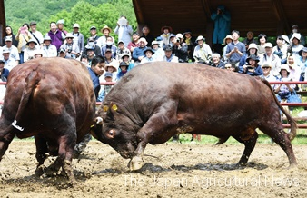 The town has a permanent bullring. This year's Tsutsuji Basho attracted 1,200 people from across the country.