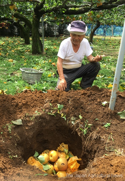 "Ishibashi, a pear grower, picking up fallen pears and burying them into a hole. ""This is hopeless,"" he said sadly. (In Matsudo city, Chiba Prefecture)"