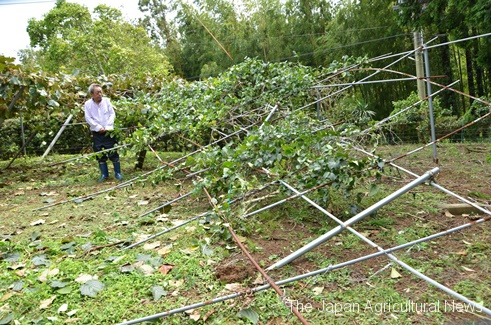 Strong wind crushed kiwifruit trellises (in Katsuura City, Chiba Prefecture)
