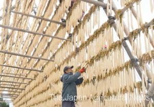 Matsuyama working hard on daikon yagura (in Miyazaki Prefecture)