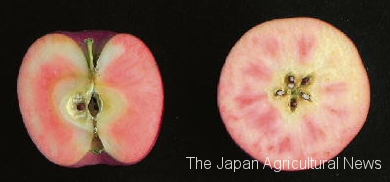 Apple Chouka 34 bred by Nagano Prefecture (photo by Agricultural Policy Planning Department of Nagano Prefecture)