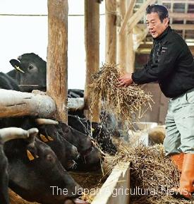 Takahiro Taniguchi taking care of his Tajima beef cows (in Shiso City, Hyogo Prefecture)