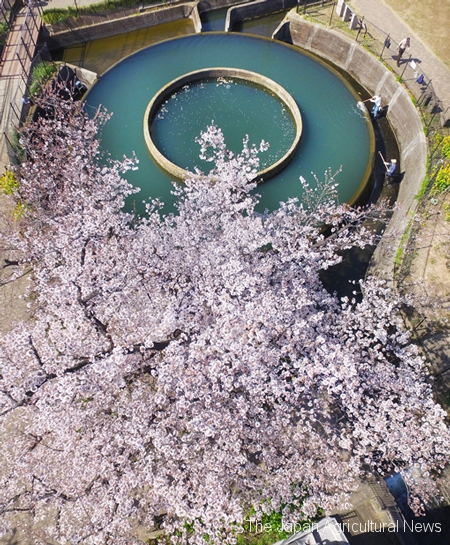 Someiyoshino cherry blossom tree in full bloom standing right next to Kuji Ento Bunsui. (Kawasaki City, Kanagawa Prefecture)
