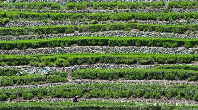 "Beautiful green and white strips of ""Okunagashima no dandan chabatake"" tea garden on the steep mountainside. (in Shizuoka City, Shizuoka Prefecture)"