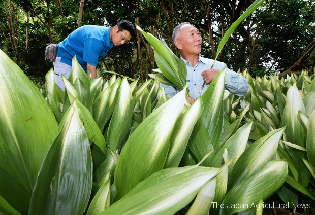 Farmers cultivating haran grown in the shade (in Oshima Town, Tokyo)