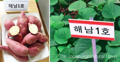 The photos show Haenam 1 sweet potatoes and their seedlings.