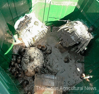 Channeled apple snails caught in a trap. Photos Courtesy of Tokai Regional Agricultural Administration Office